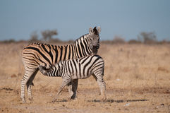 Zebra foal suckling. Stocky and horselike; black and white stripes with shadow stripes superimposed on white stripes; stripes extend on to under parts; lacks Stock Photo