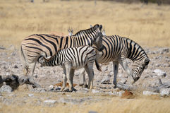 A Zebra foal suckling Stock Image