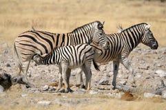 Zebra foal suckling, Etosha, Namibia Royalty Free Stock Images