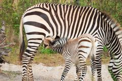 Zebra Foal Suckling from mom stock photography