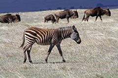 Zebra foal in thundercloud light, Ngorongoro Royalty Free Stock Photos