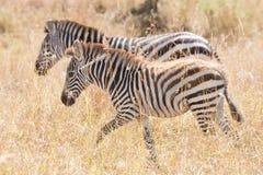 Zebra and foal walk side-by-side on savannah Stock Photo