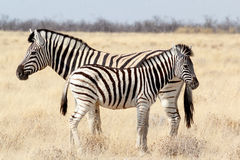 Zebra Foal With Mother In African Bush Stock Photos