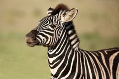 Zebra Foal Royalty Free Stock Photo
