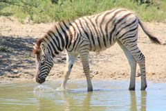 Zebra - A Foal (Youngster) explores its surroundings Stock Image
