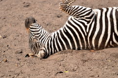 Zebra foal Royalty Free Stock Image