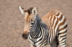 Zebra foal Royalty Free Stock Photos