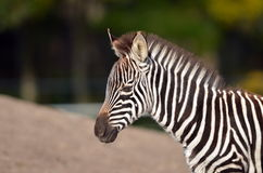 Zebra foal Royalty Free Stock Photo