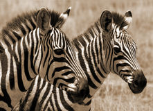 Zebra foals Stock Photos