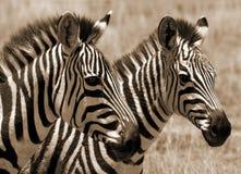 Zebra foals. Two baby Zebras in africa Stock Photos