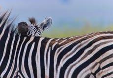 Zebra-Fohlen Lizenzfreie Stockfotos