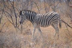 Zebra-Fohlen Stockbild