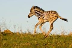 Zebra-Fohlen bei Sonnenuntergang Stockfotos