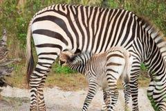 Zebra-Fohlen-Säugling von der Mutter stockfotografie