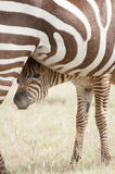 Zebra-Fohlen und Mutter lizenzfreie stockbilder