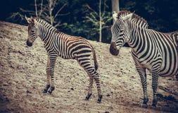 Zebra-Fohlen und Mutter Stockbilder