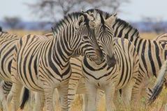 Zebra - fondo della fauna selvatica dall'Africa - bande affettuose di amore Fotografie Stock