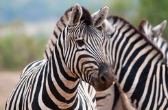 Zebra in foreground Royalty Free Stock Photo