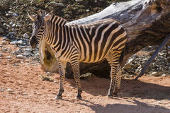 Zebra in the forest Royalty Free Stock Images