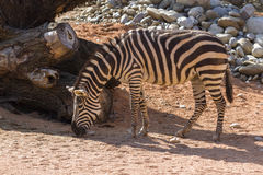 Zebra in the forest Stock Photography