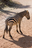 Zebra in the forest Royalty Free Stock Photos