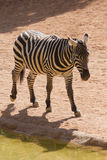 Zebra in the forest Royalty Free Stock Photo