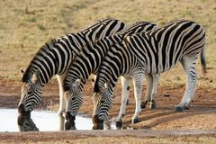 Zebra Formation Stock Photo