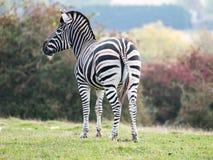Zebra, fotografada de trás em Lympne portuário Safari Park, Ashford Kent Reino Unido O campo de Kent no outono no fundo imagem de stock