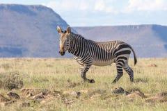 Zebra fotografująca przeciw górzystemu tłu w Halnej zebry parku narodowym, Wschodni przylądek; Południe Zdjęcia Royalty Free