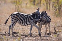 Zebra and foul Royalty Free Stock Image