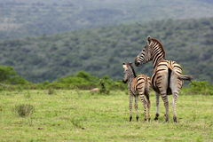 Zebra and fowl. South Africa Royalty Free Stock Photo