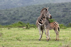 Zebra and fowl. South Africa Stock Photography