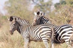 Zebra Friendship Royalty Free Stock Images