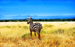 Zebra From Africa Royalty Free Stock Images