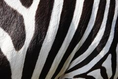 Zebra Fur Stock Photo