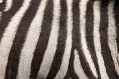 Zebra Fur Background Stock Photography