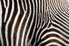 Zebra Fur Background Royalty Free Stock Images