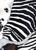 Zebra fur Stock Image