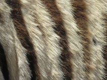 Zebra fur closeup. A closeup of the skin or fur of a zebra, depicting the black and white stripes Royalty Free Stock Images