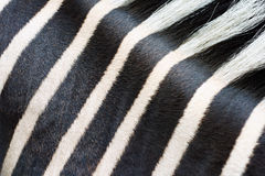 Zebra fur pattern Stock Image