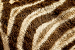 Zebra fur Royalty Free Stock Photos