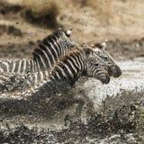 Zebra galloping in the river, Serengeti, Tanzania Stock Images