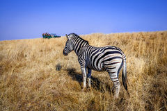 Zebra game drive vehicle 11 Stock Images