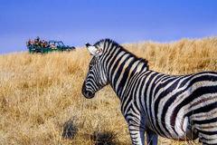 Zebra game drive vehicle 10 Stock Image