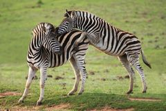 Zebra Games. Two young zebra with one trying to mount the other Royalty Free Stock Photo