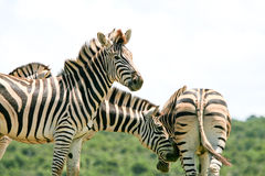 Zebra gang Stock Images