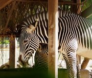 Zebra Or Genus Equus. Eating hay at Lisbon Zoo Lisbon Portugal stock image