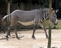 Zebra Or Genus Equus. In enclosure at Lisbon Zoo Lisbon Portugal royalty free stock photos