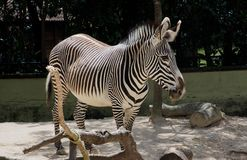 Zebra Or Genus Equus. In enclosure at Lisbon Zoo Lisbon Portugal stock images