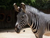 Zebra Or Genus Equus. In enclosure at Lisbon Zoo Lisbon Portugal royalty free stock images